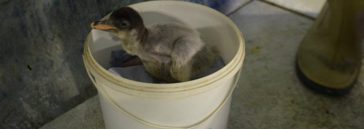 Baby penguin being weighed at the National Sea Life Centre