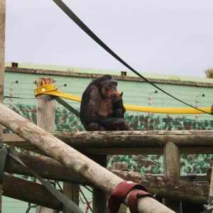 Bonobo enclosure first time outside (Lina F, Aged 36)